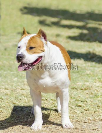 americano cane terrier