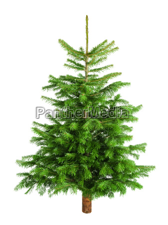 poet, small, fir, tree, on, pure - 10318075