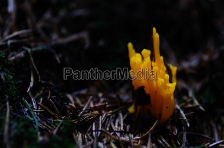 mushroom orange coral