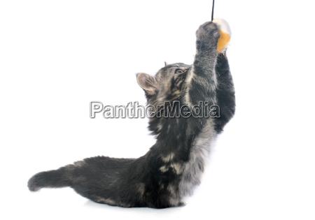 playing gray kitten