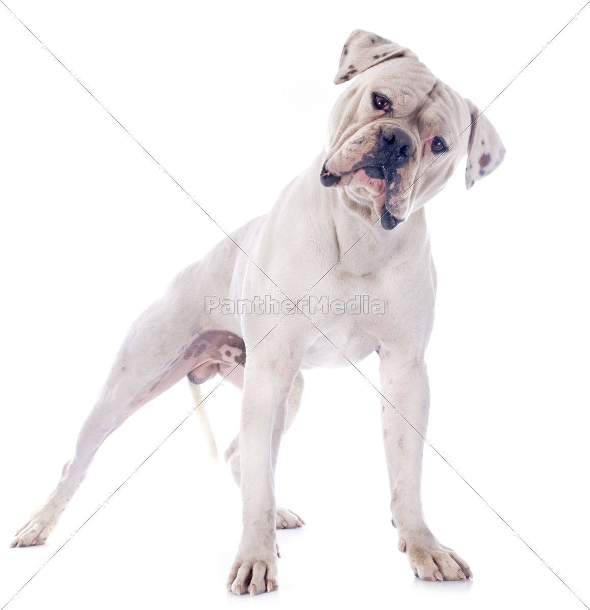 american, bulldog - 10336425