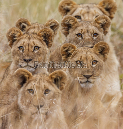 african, lion - 10338041