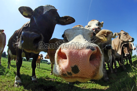 wide, shot, of, cows - 10348345