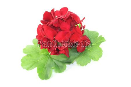 red geranium with petals