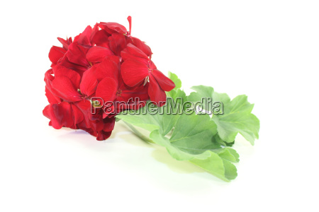 red geranium flowers with
