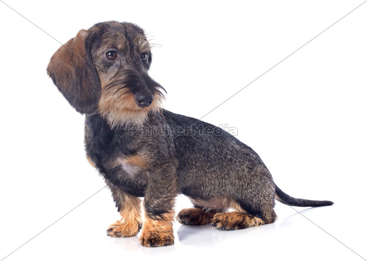 puppy, wire, haired, dachshund - 10387451