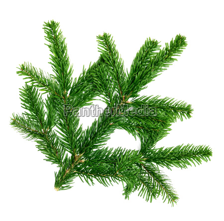 fresh fir branch on white