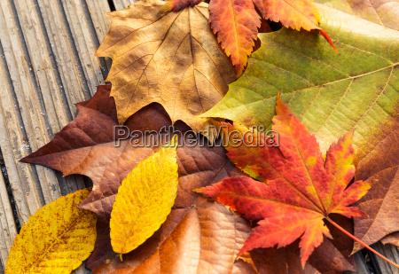 maple leave in autumn season