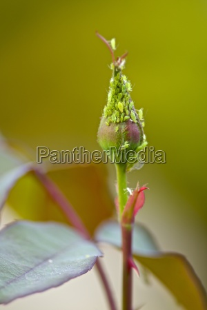 aphid on a rose bud