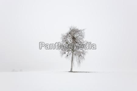 tree birch in winter fog