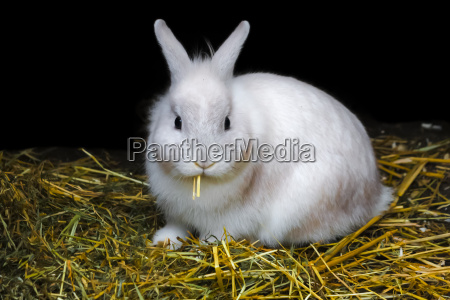 white bunny rabbit in the hay
