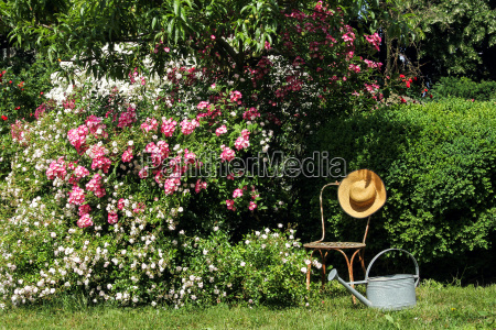 rose garden with chair