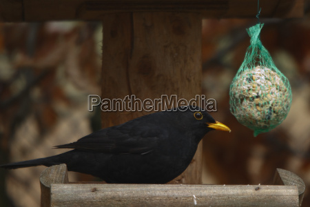 blackbird males blackbird turdus