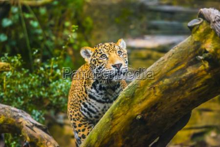 beautiful jaguar animal in its natural