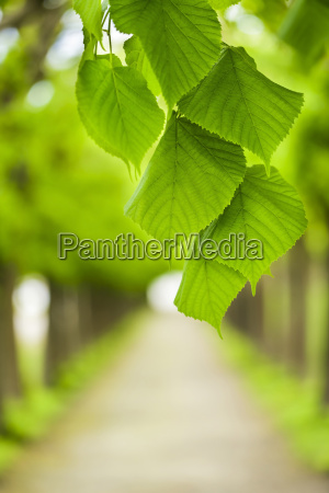 green leaves before baumallee