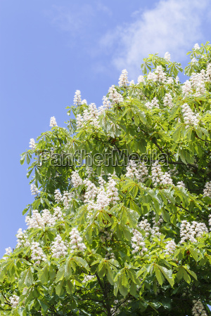 chestnut tree flowers vertical