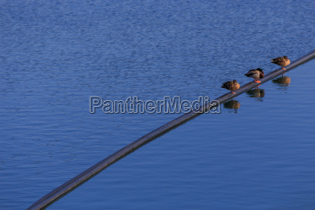 three ducks on a tube in