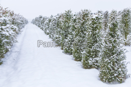young fir trees in the snow
