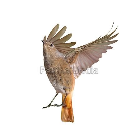 female of redstart bird flying isolated