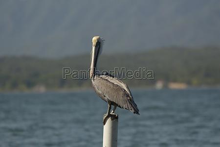 bird birds angle fish beak pelican