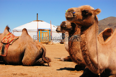 camels in front of a yurt