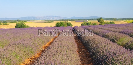 lavender field lavender field 92