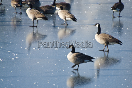 canada geese walking on frozen lake