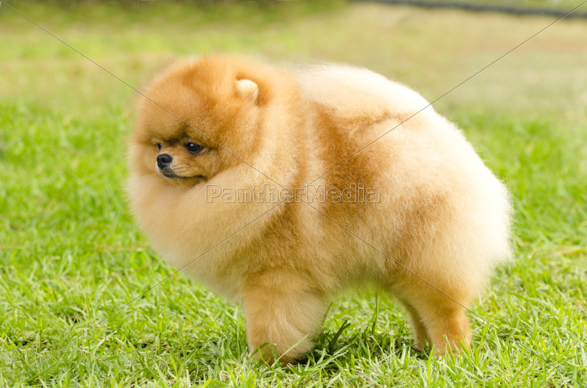 Stock Photo 10663385 - Pomeranian dog