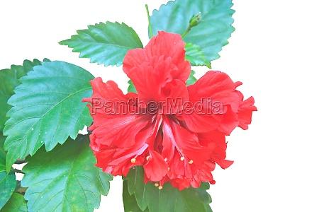 flower from thailand