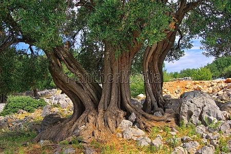 pnia drzewa oliwnego pien drzewa