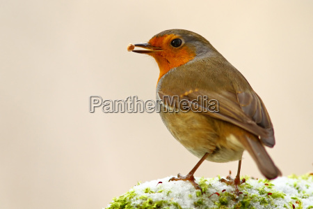 the robin erithacus rubecula