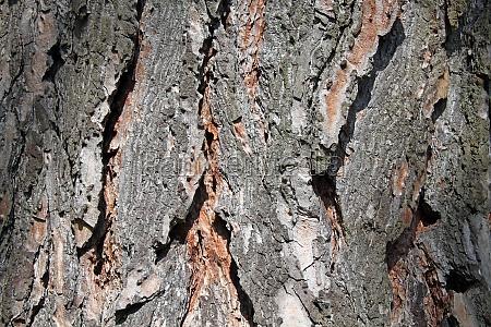 very rough bark