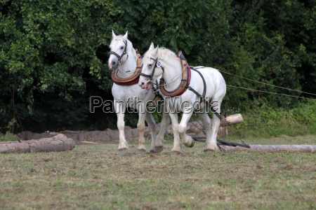two white horses skidding at work