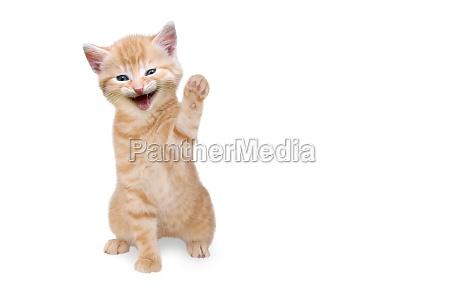 cat kitten laughing and waving