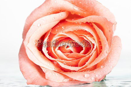 close up on a pink rose