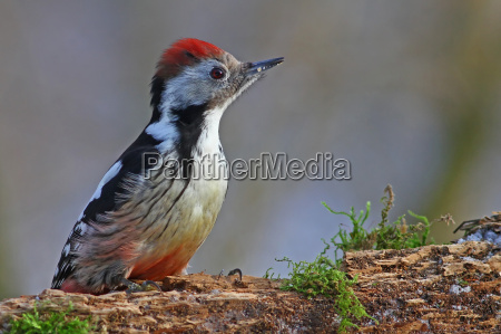 spotted woodpecker dendrocopos major