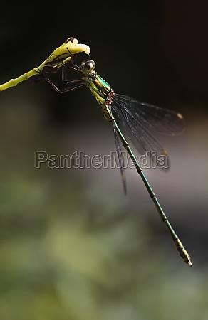 emerald damselfly or lestes virides