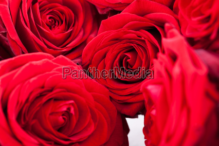 beautiful red rose closeup macro