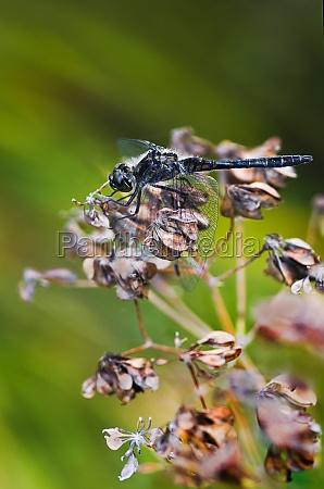 camouflage black darter dragonfly