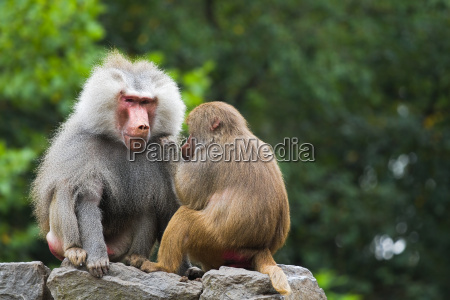 two baboons on rocks