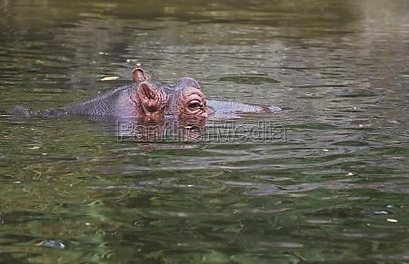 hippo or hippopotamus amphibius in water