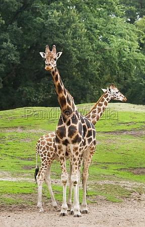 two giraffes on field