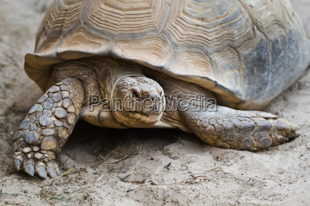 big turtle in close view