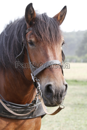 draft horse portrait