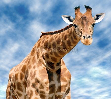closeup front giraffe