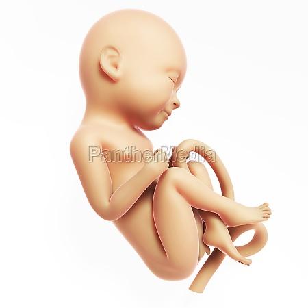 3d rendered illustration human fetus