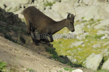 bouquetin capra ibex run female