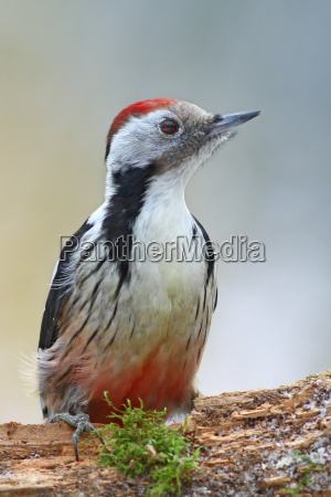 middle spotted woodpecker dendrocopos medius