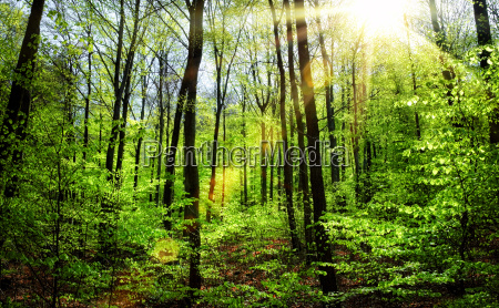 spring sun in the beech forest