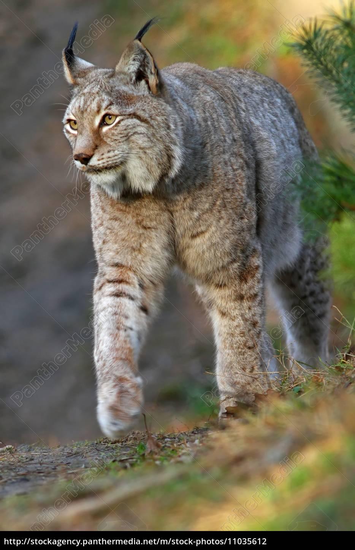 the, eurasian, lynx, or, northern, lynx - 11035612